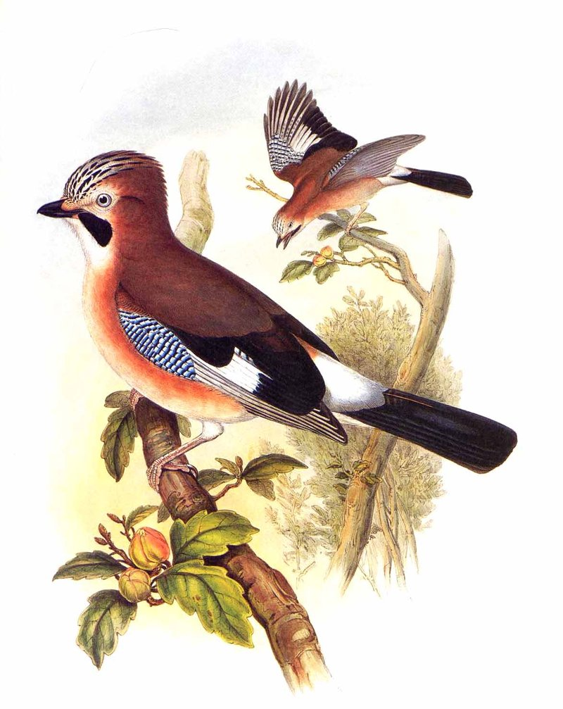 Geai des chênes Garrulus glandarius Eurasian Jay